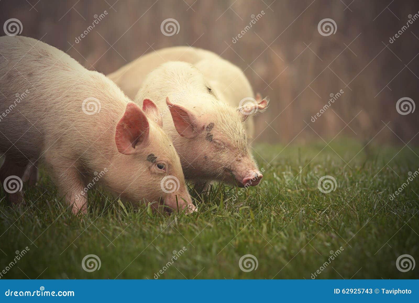 Petits porcs sur le pré