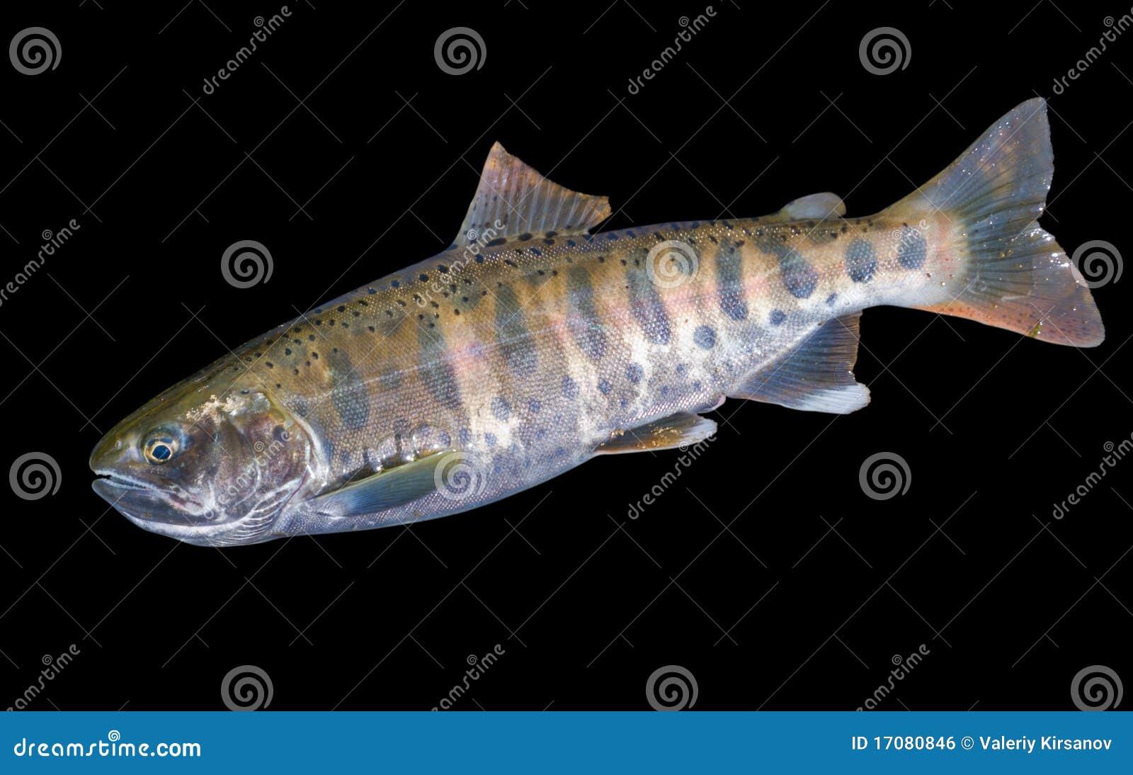 Petits saumons 6