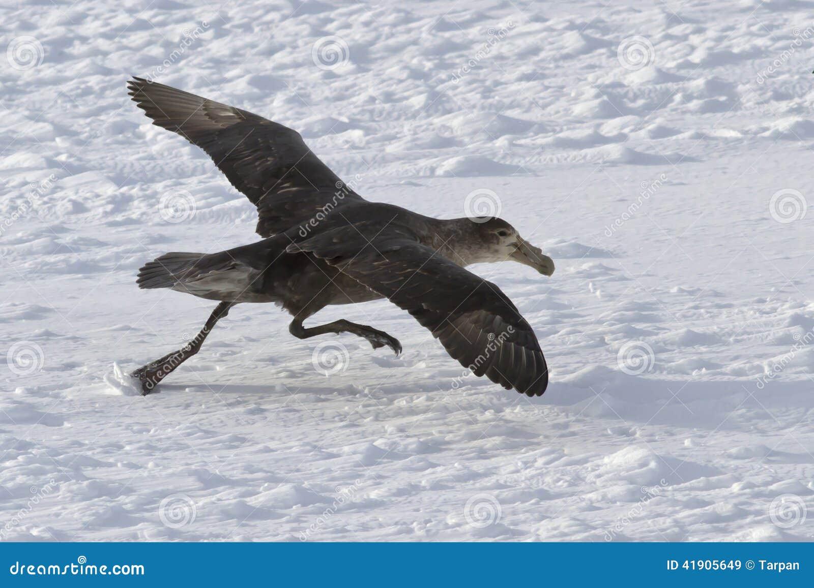Petrel gigante meridional durante despegue de los campos de hielo de Anta