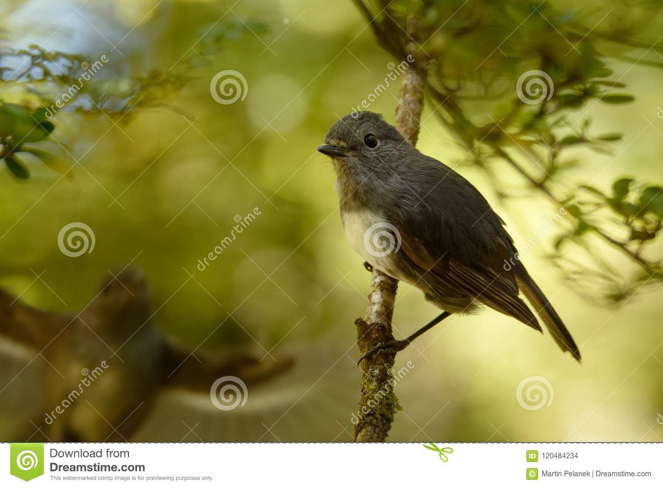 Petroica australis - South Island Robin - toutouwai - endemic New Zealand forest bird sitting on the branch in the forest