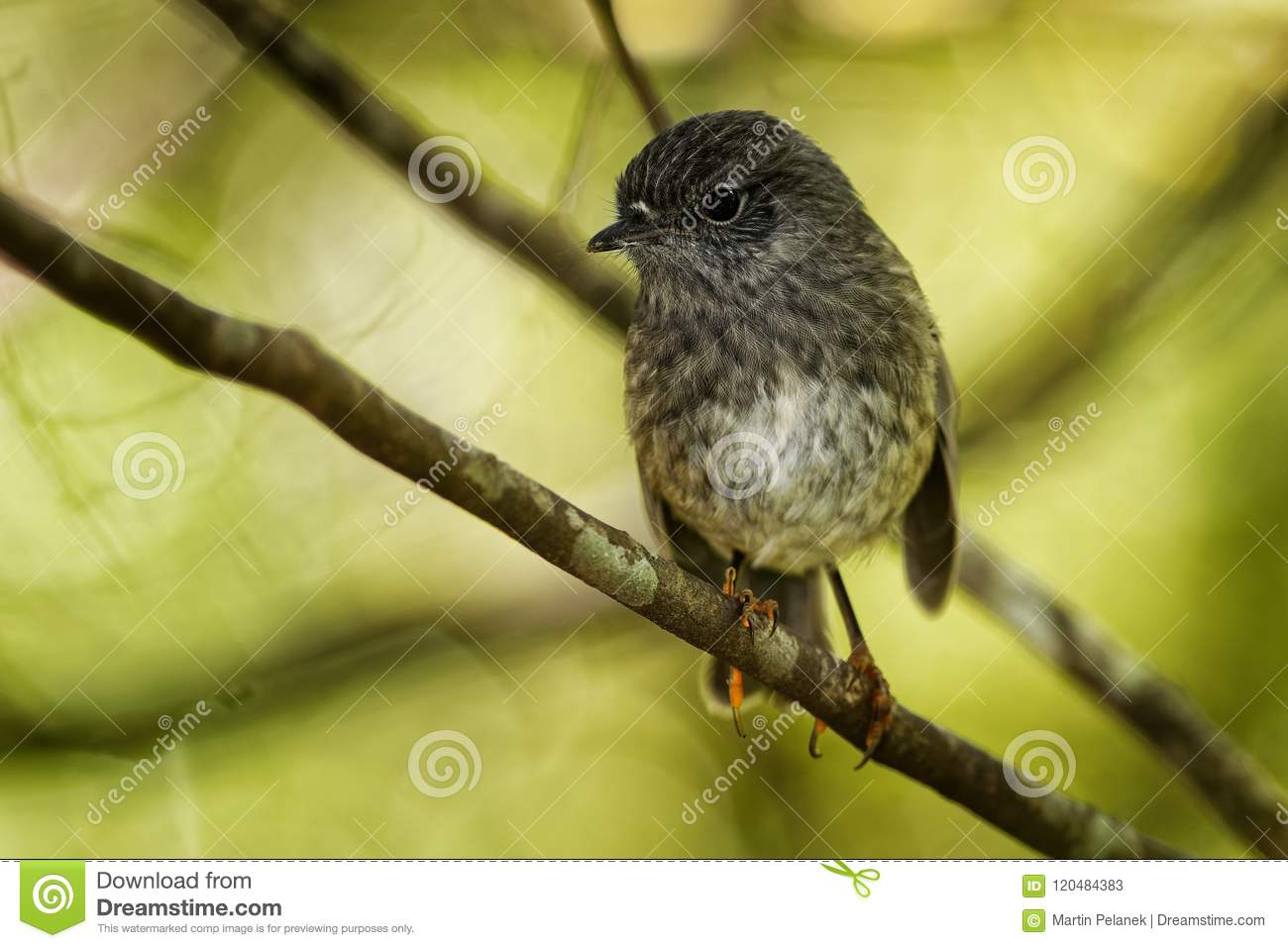 Petroica longipes - North Island Robin - toutouwai - endemic New Zealand forest bird sitting on the branch in the forest