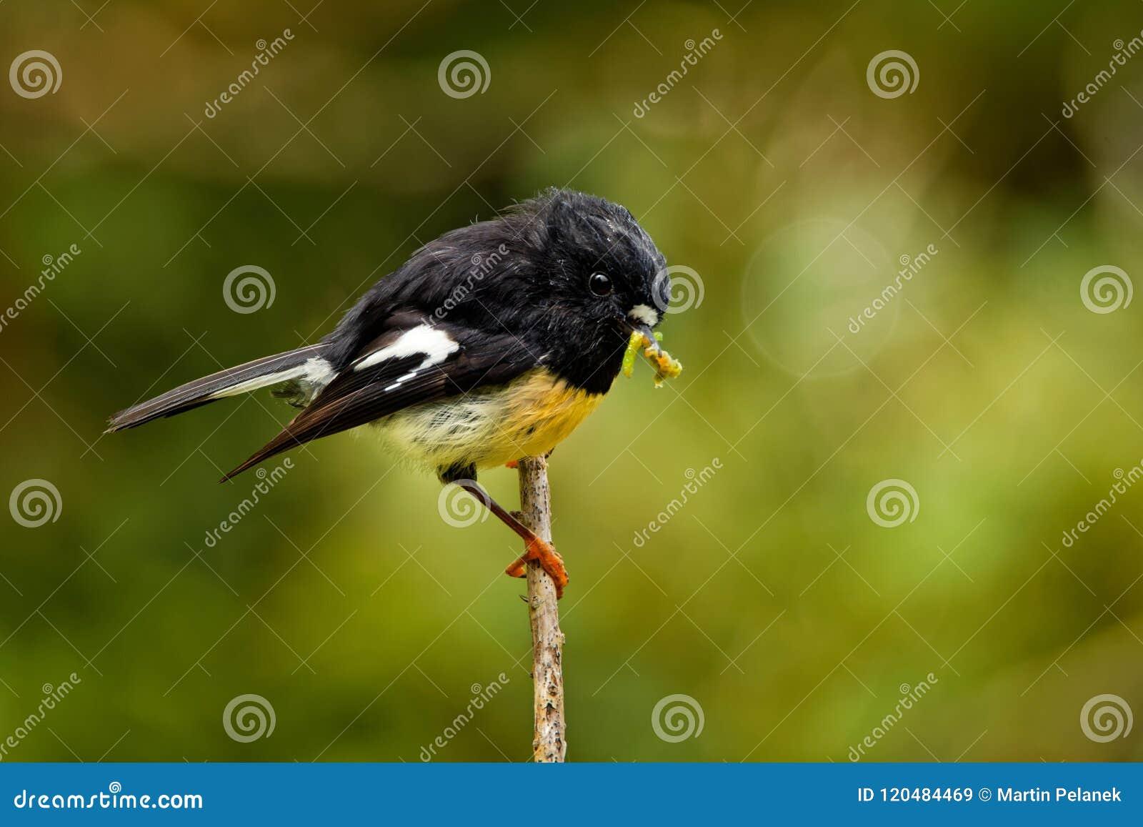 Petroica macrocephala macrocephala -南岛Tomtit - miromiro地方性新西兰森林鸟坐在f的分支