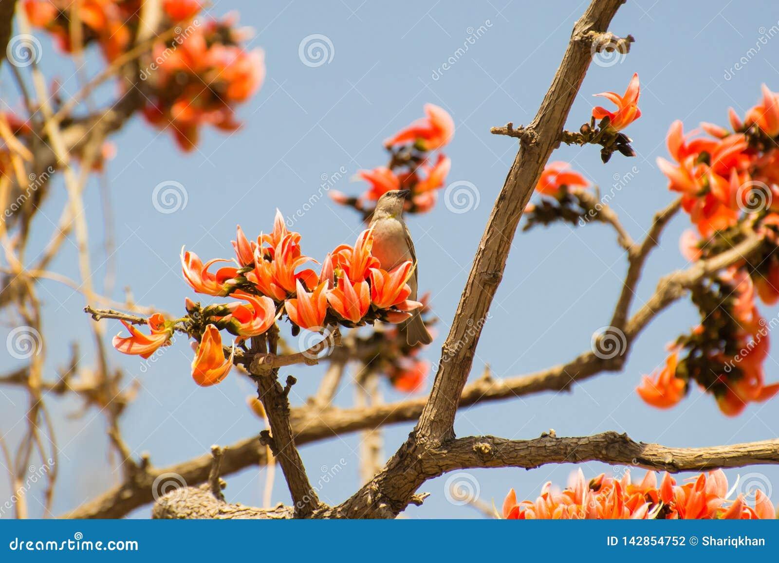 Petronia Feeding llevada a hombros castaña en las flores