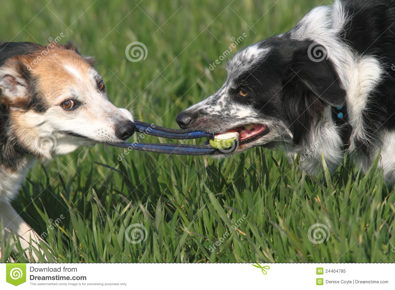 Puppy Playing Tug Of War With Older Dog