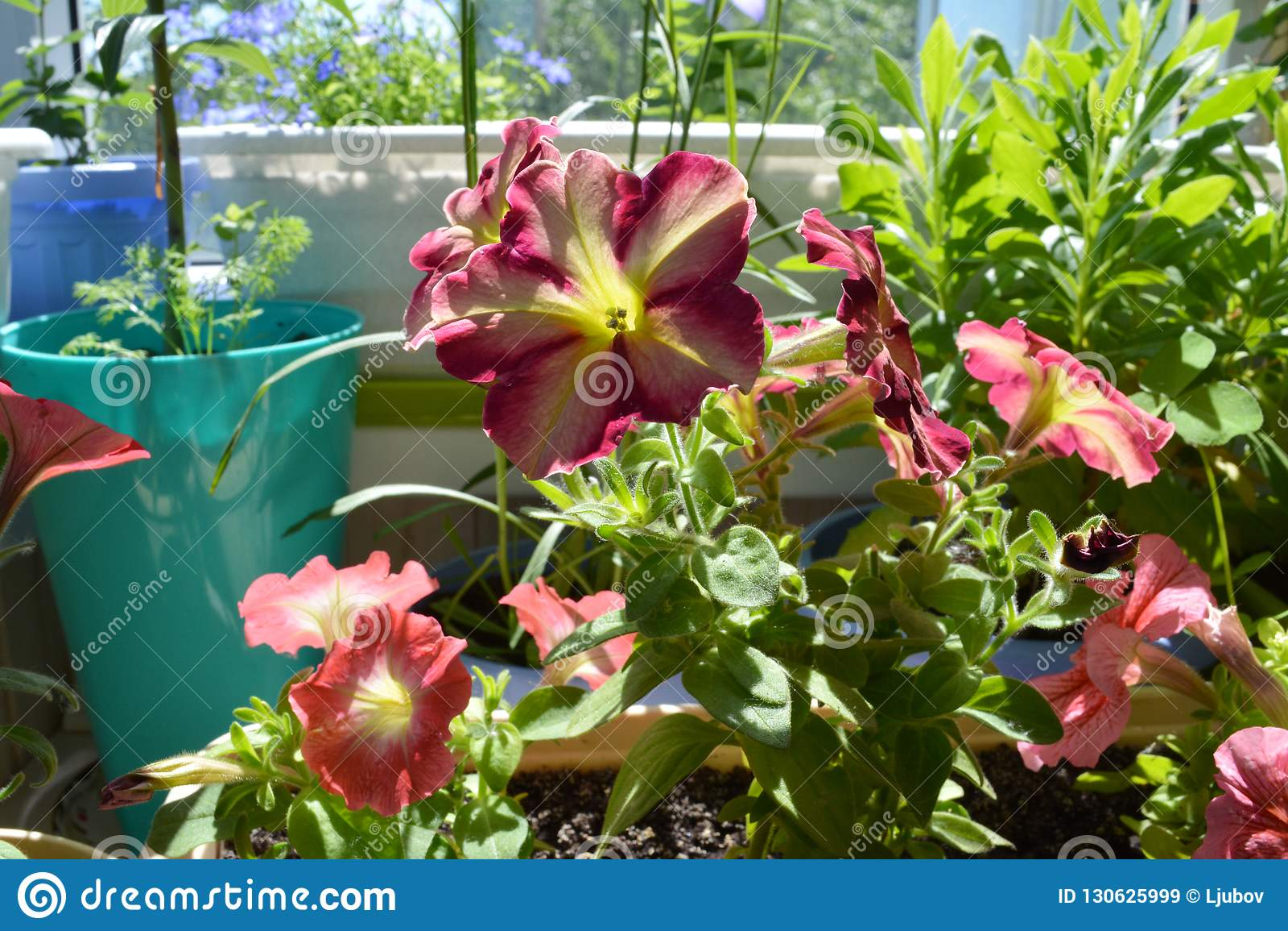 Piccolo Giardino Sul Balcone : Petunia di fioritura luminosa in piccolo giardino urbano sul balcone