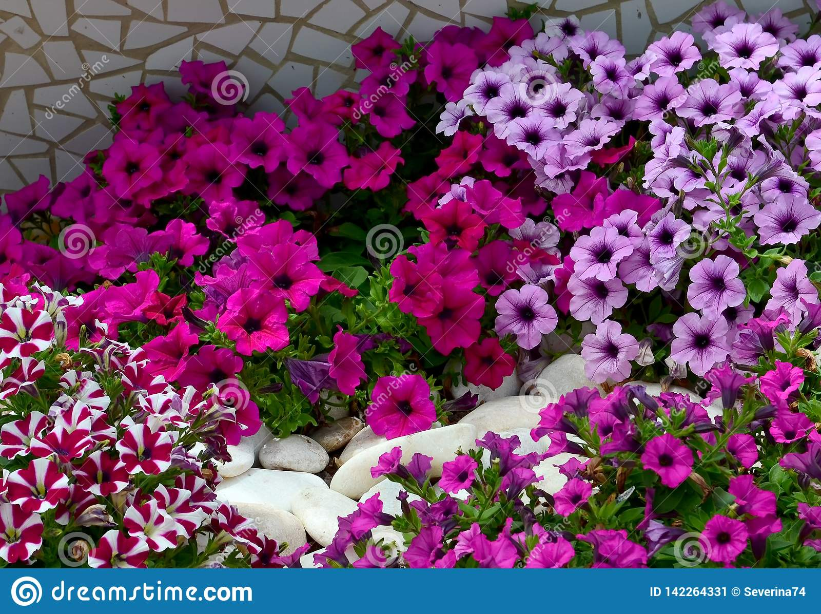 Petunia Flowers On A Flower Bed In Summer Garden Bright Colorful Petunias Floral Background Stock Image Image Of Colorful Color 142264331