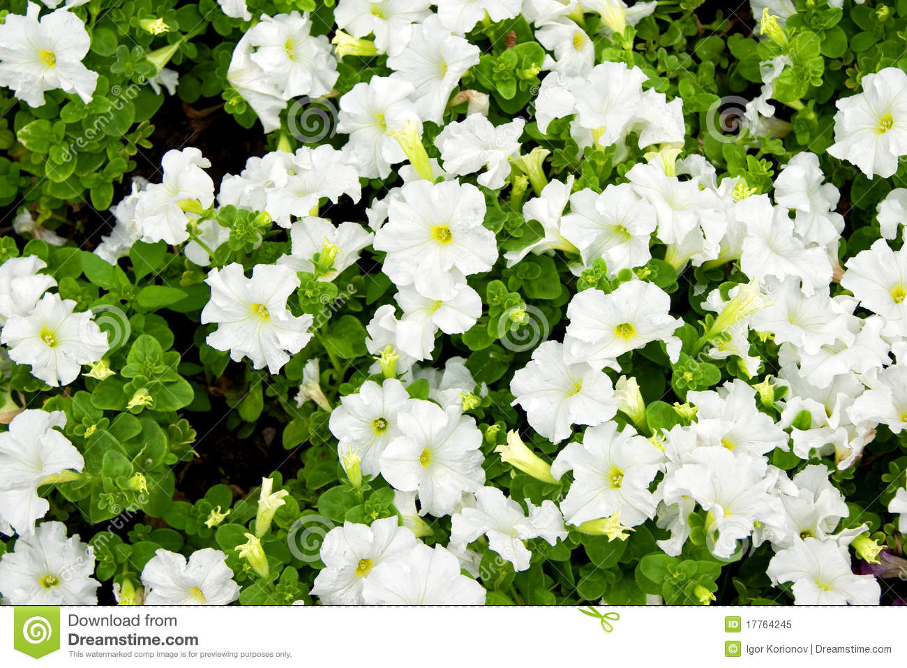 Petunia flowers white with green leaves stock image image of petunia flowers white with green leaves mightylinksfo