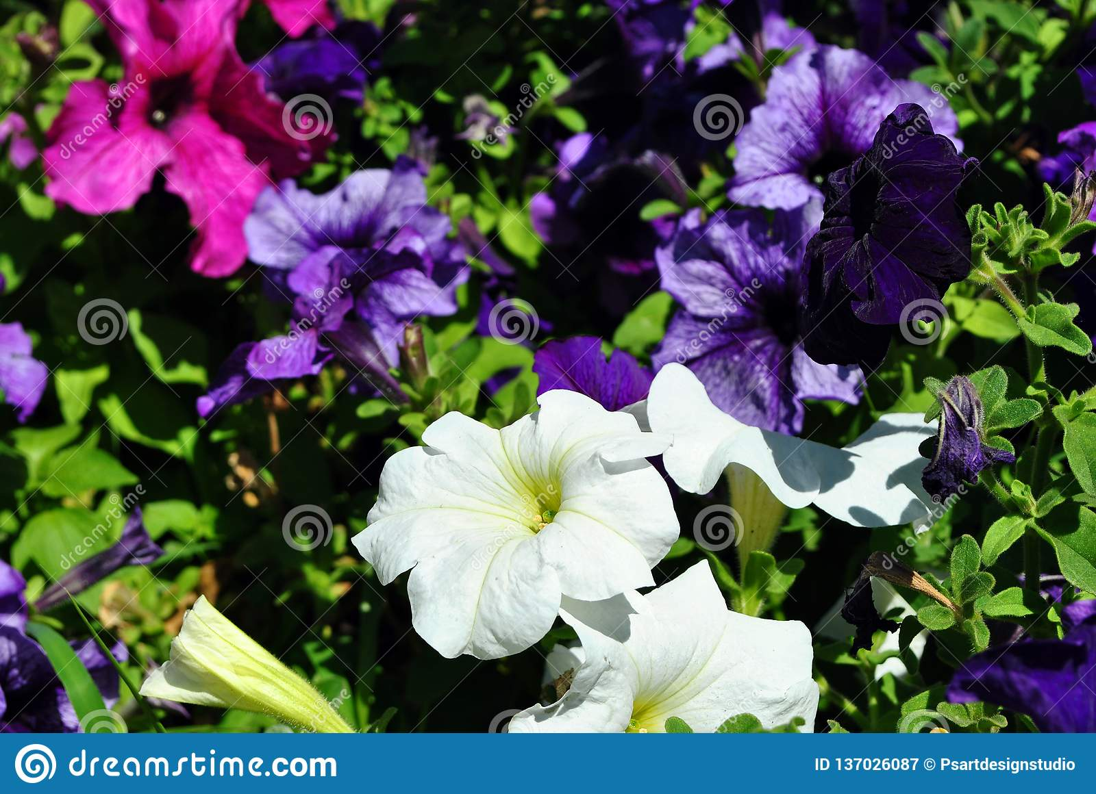 5361bf421f Petunia grandiflora pink, white and dark purple flowers, top view  background close up