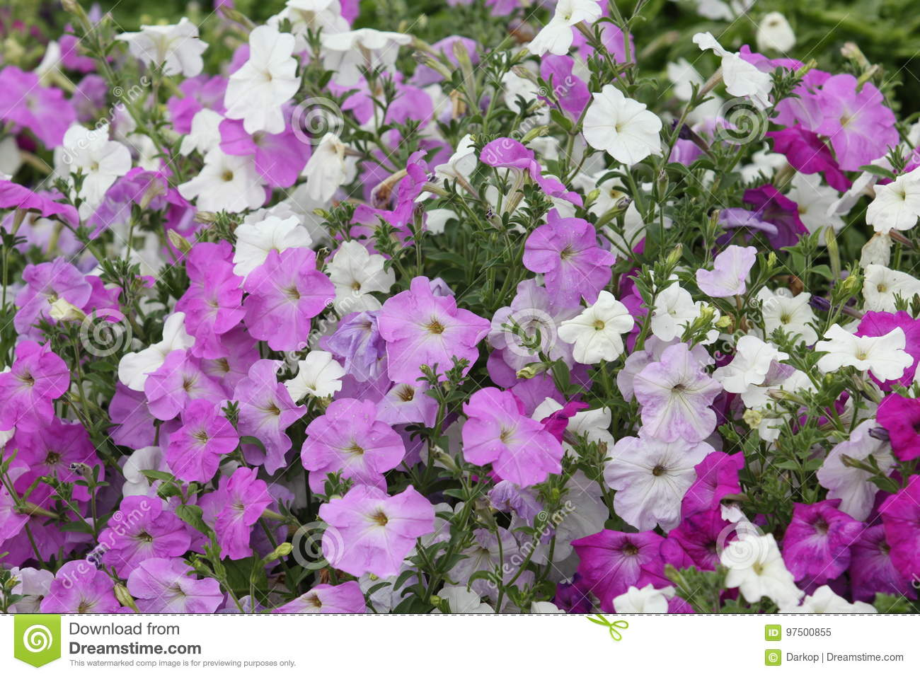 Petunia Hybrid Flowering Plants With Pink And White Flower Stock