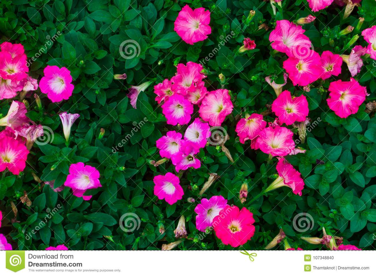 Petunia Hybrida Plant Over The Years Is Small. The Flowers Are Large ...