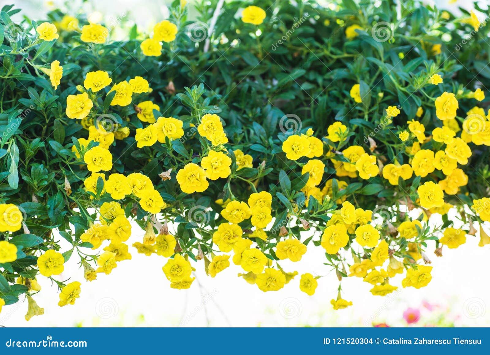 Fiori Gialli Vaso.Petunia Ibrida Del Patio Con I Piccoli Fiori Gialli In Un Vaso