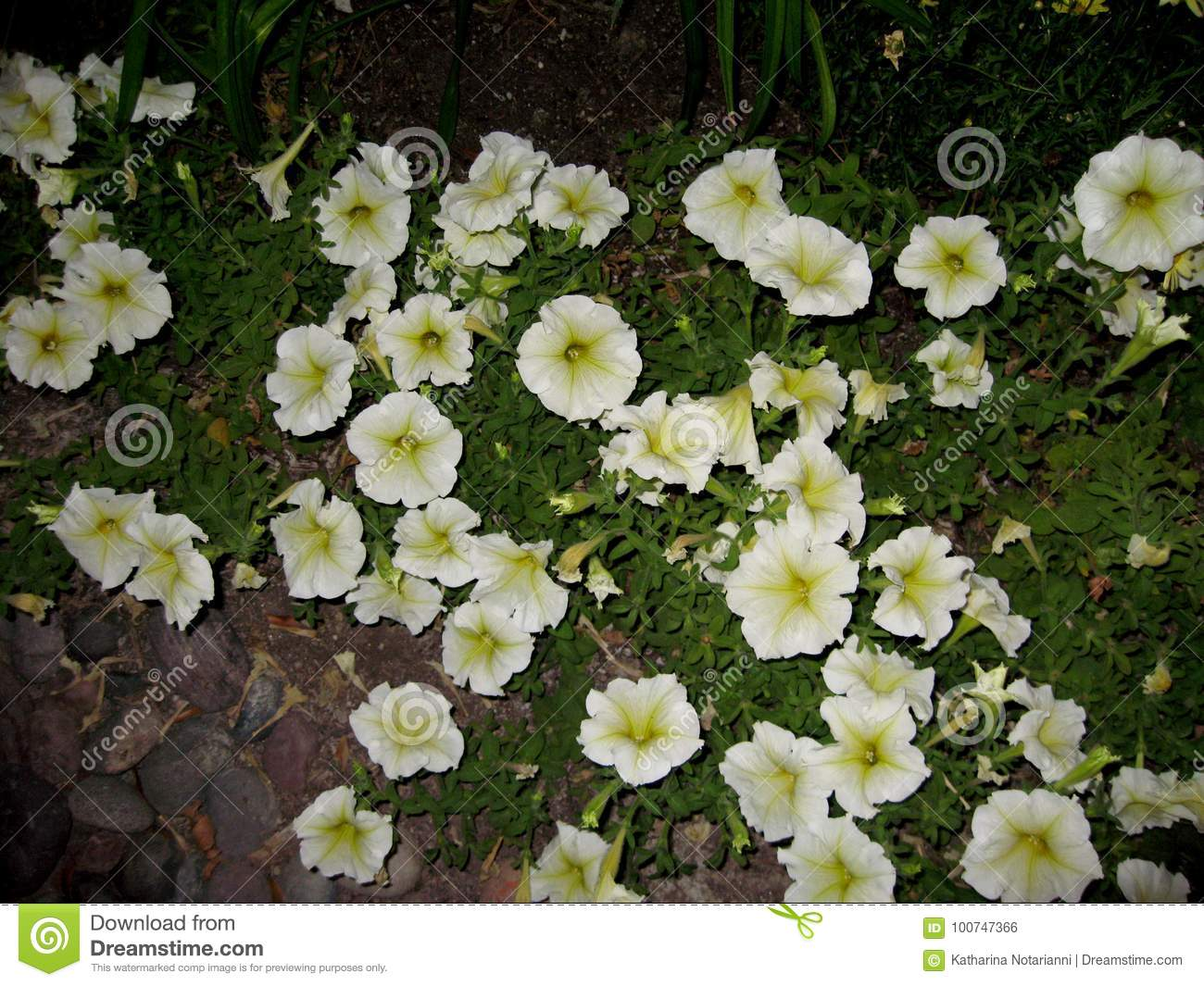 Petunia Milliflora Picobella Cascade White Stock Photo Image Of
