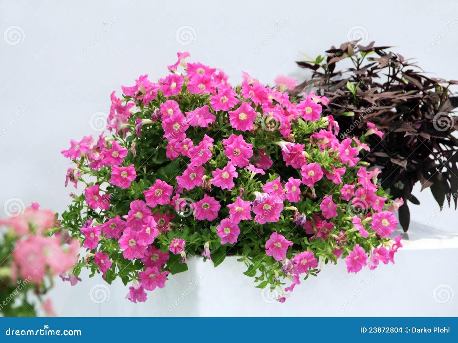 Petunia Pot Ornamental Plant Stock Photo