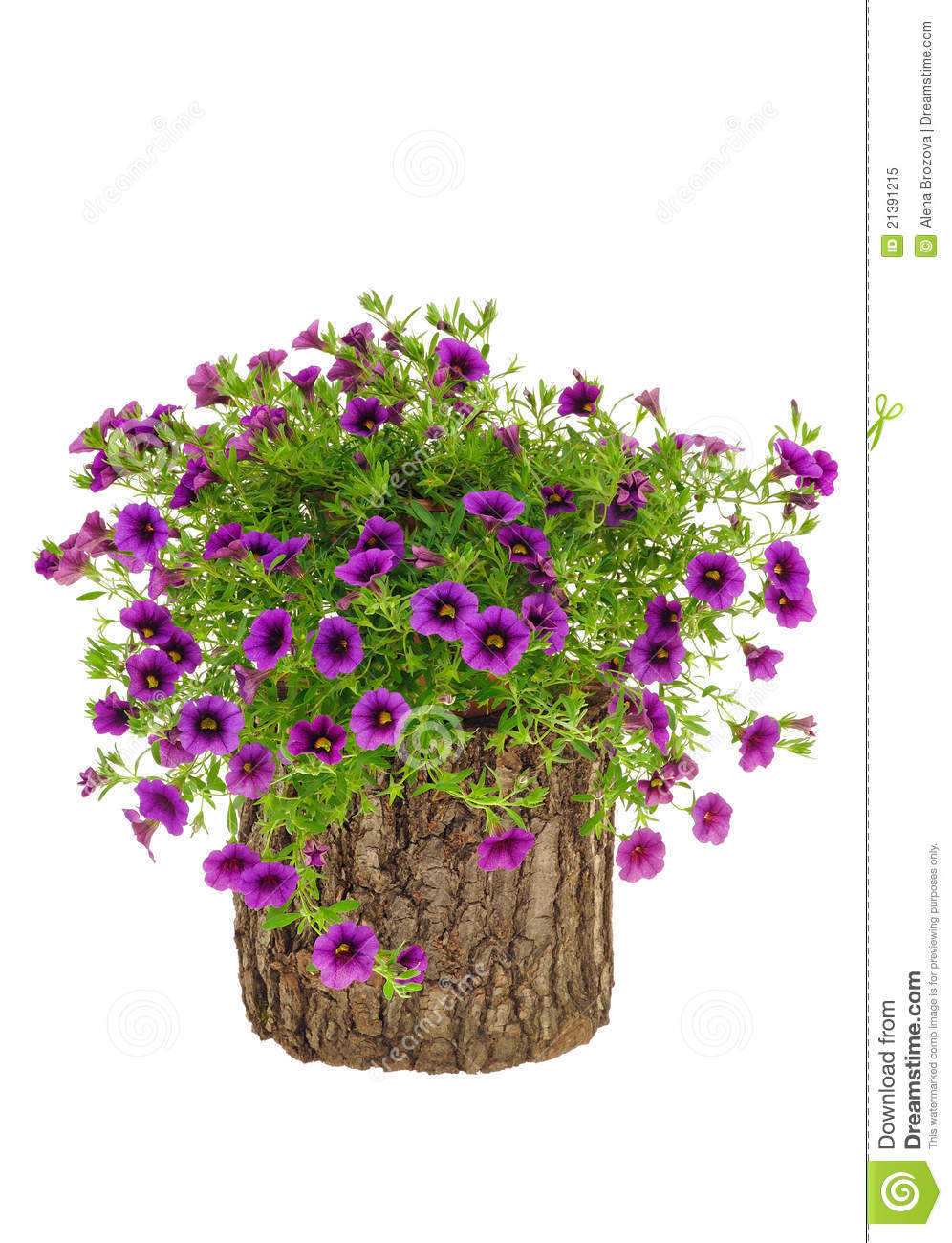 Petunia surfinia flowers on tree trunk over white royalty for Petunia surfinia