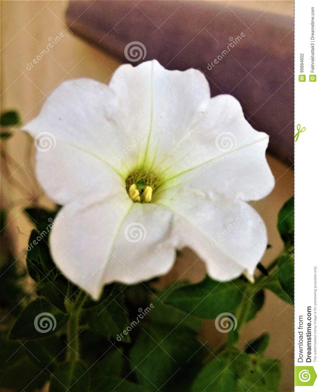 Petunia white flower stock photo image of seeds beautiful 99884602 its white petunia flowerits half shade plantavailable in both annuals and parenialsboth give seeds toos best for baskets or hanging purposes izmirmasajfo