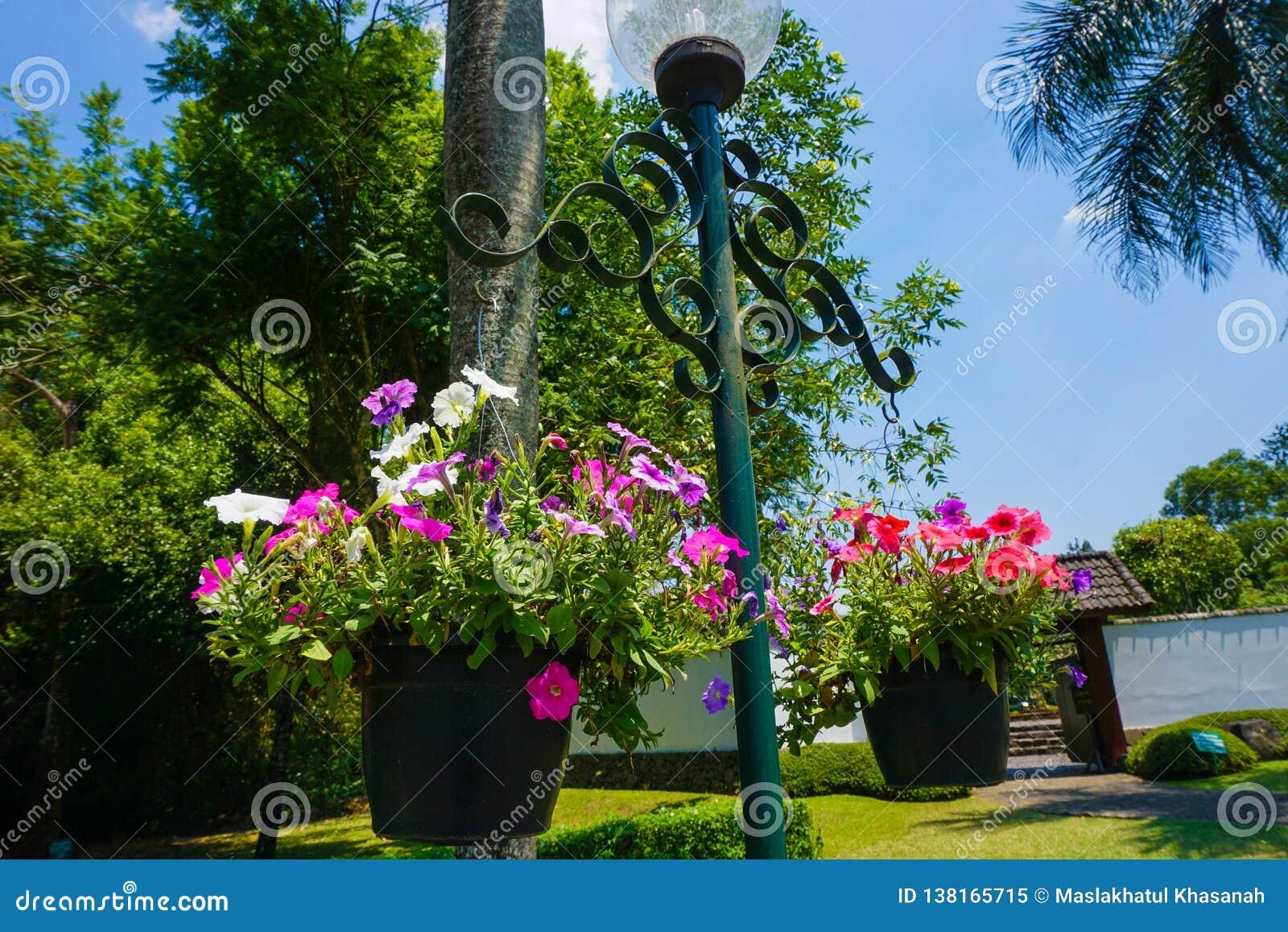 Petuniablomman som hänger på lampan med blå himmel, och det gröna trädet som bakgrund på parkerar - fotoet