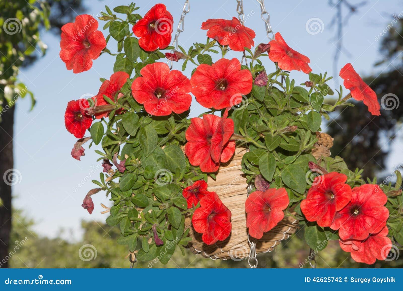 Petunian blommar i hängande utomhus  områden för korgar arkivfoto ...