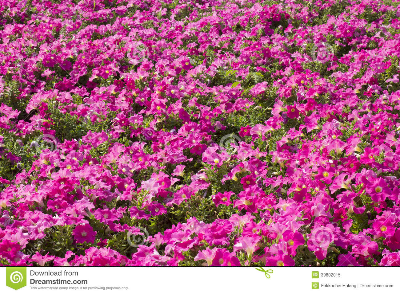 Petunias beautiful pink color on the flower field