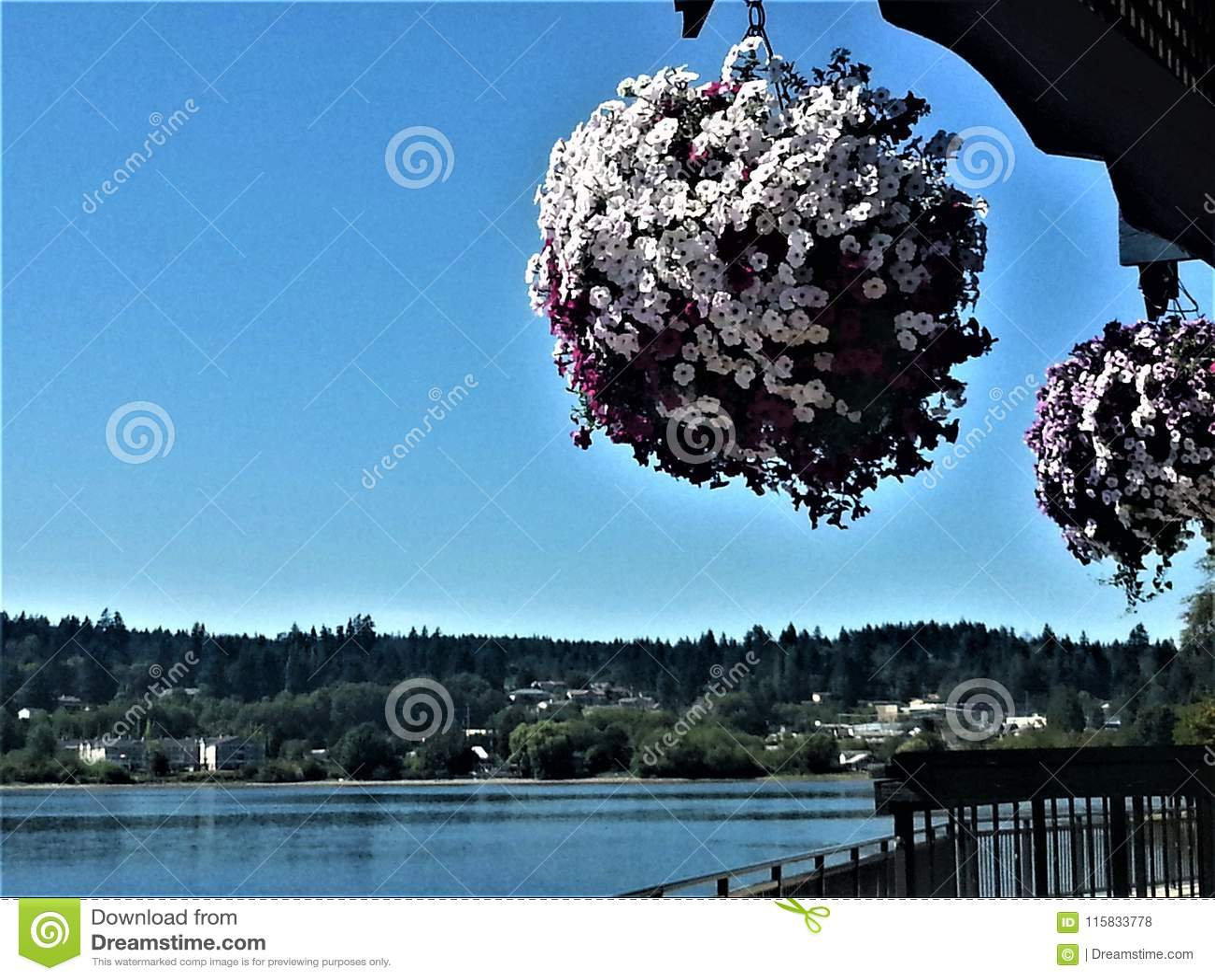 Petuniasfärer över Puget Sound