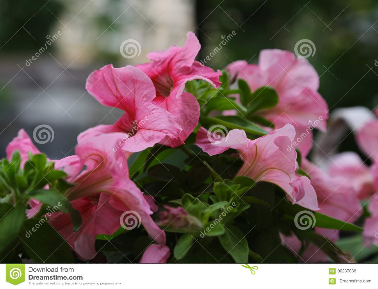 Petunienblumen