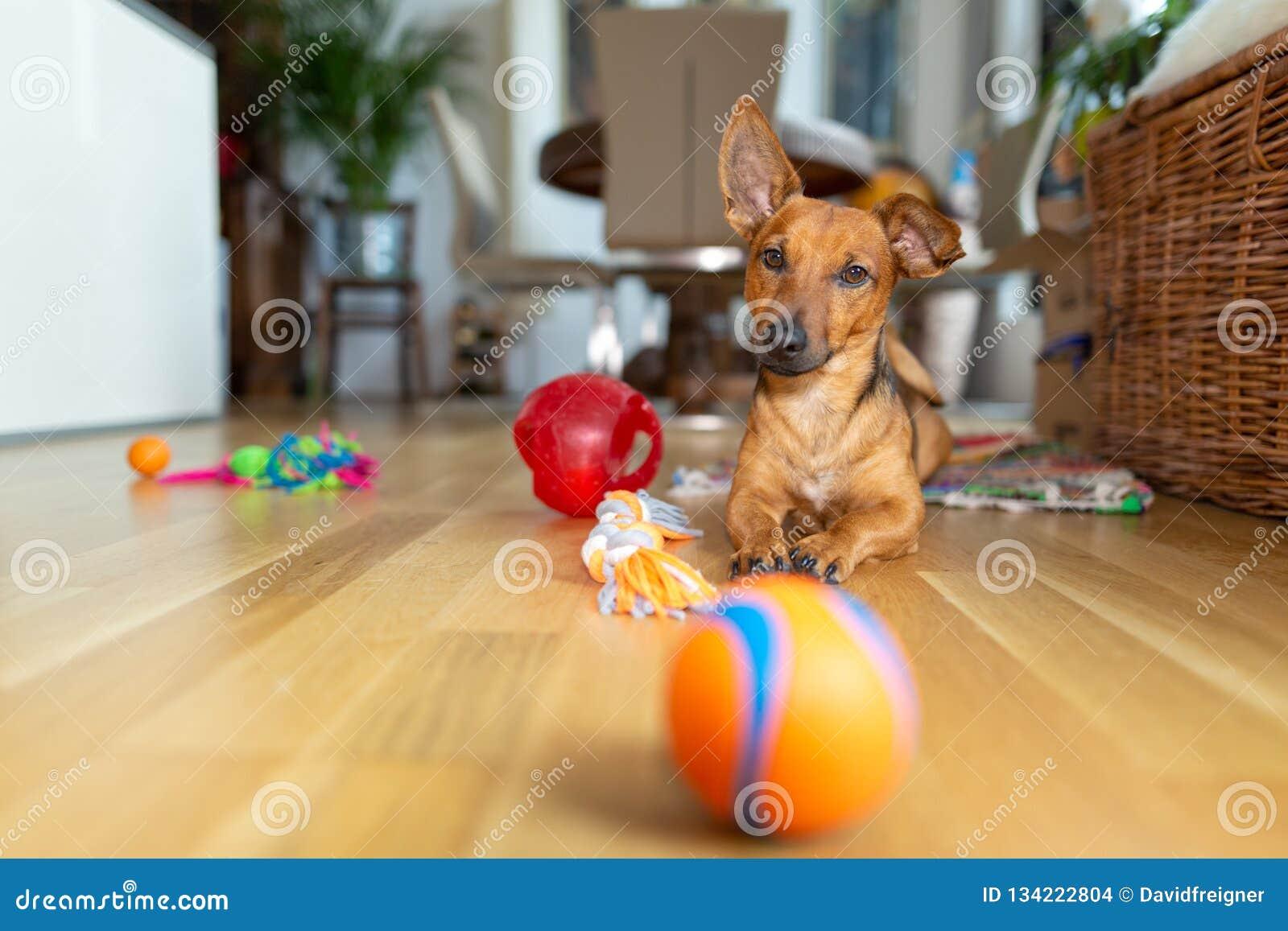Peu chien à la maison dans le salon jouant avec ses jouets