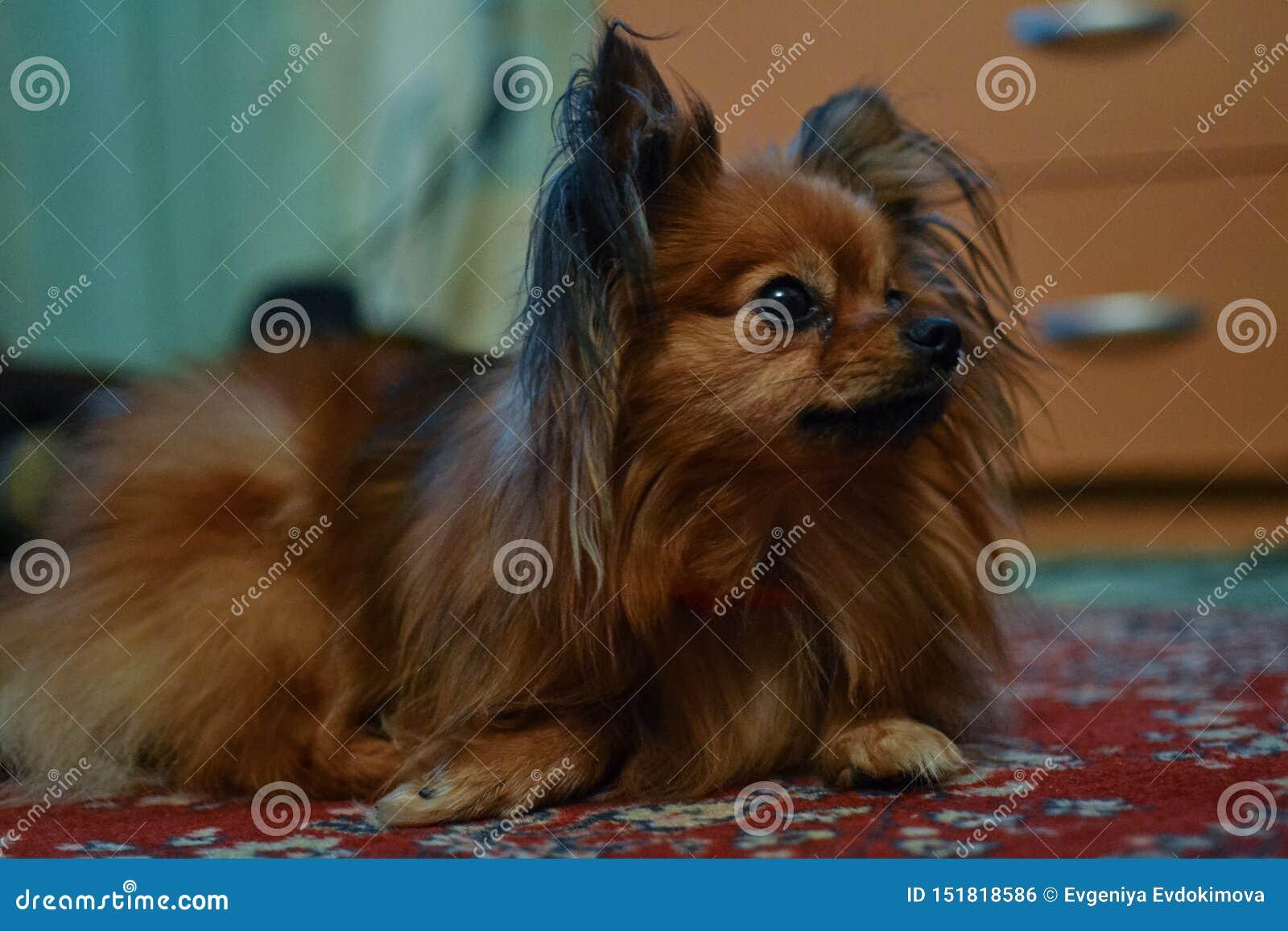 Peu chien brun mignon avec de longs cheveux