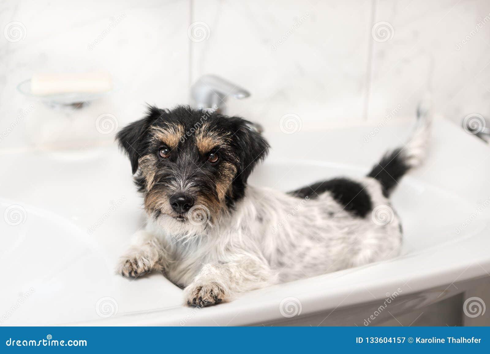 Peu chien décontracté dans le lavabo - Jack Russell Terrier