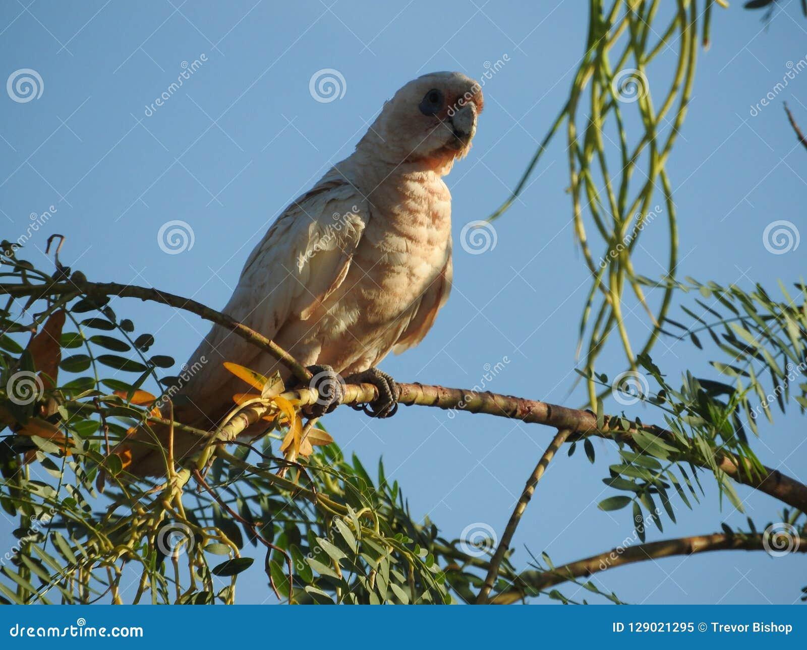 Peu de corella se reposant sur l arbre exerçant la surveillance