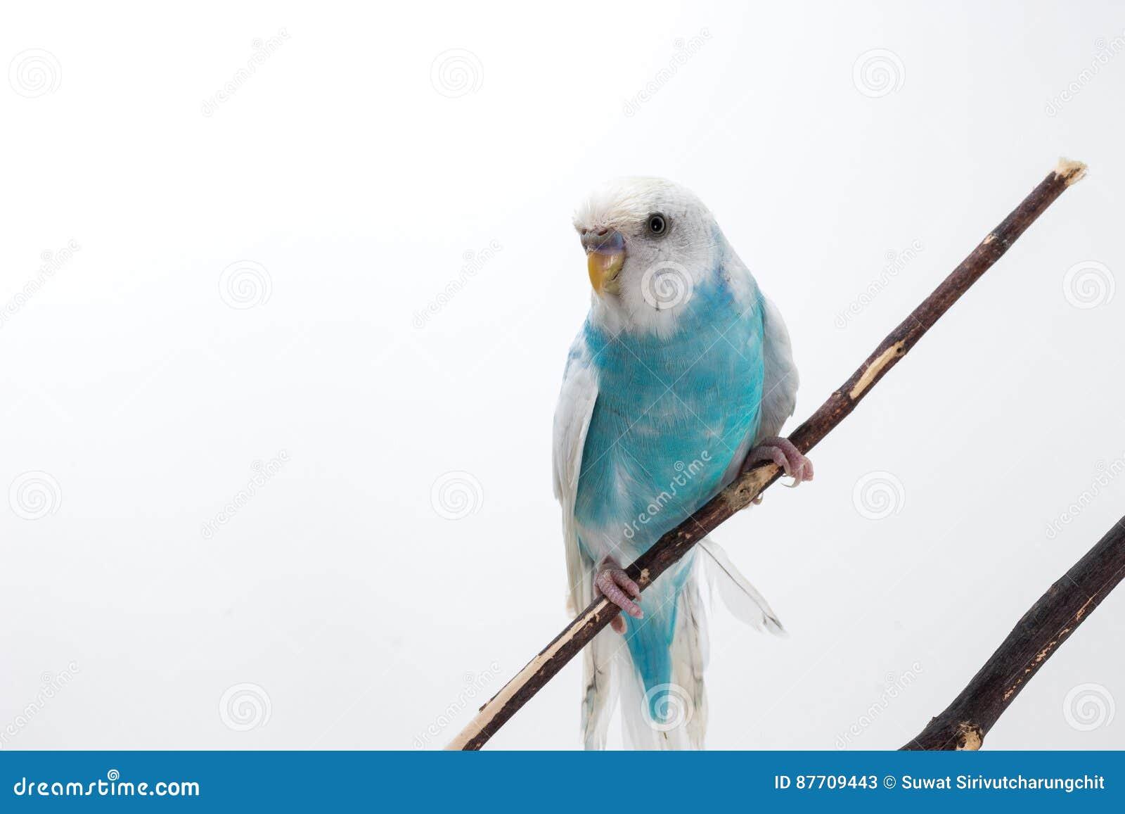 Peu de perruche mignonne, perruche, oiseau