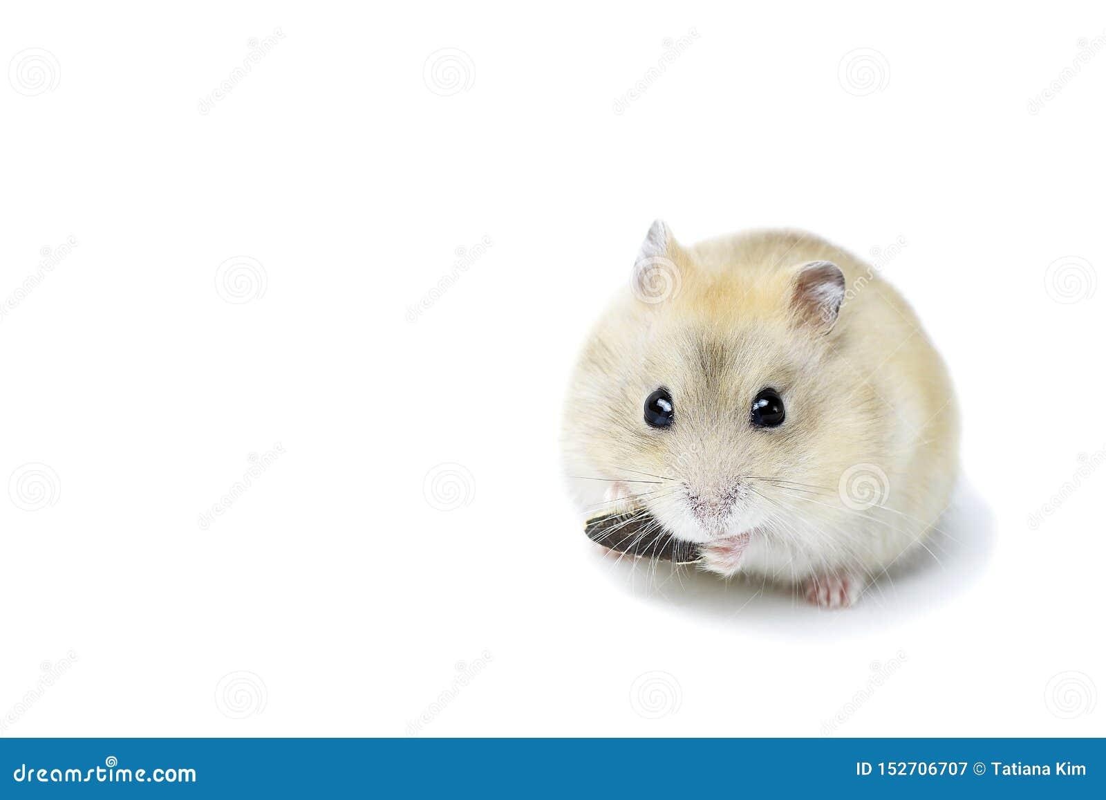 Peu hamster pelucheux mangeant une graine, d isolement sur le fond blanc