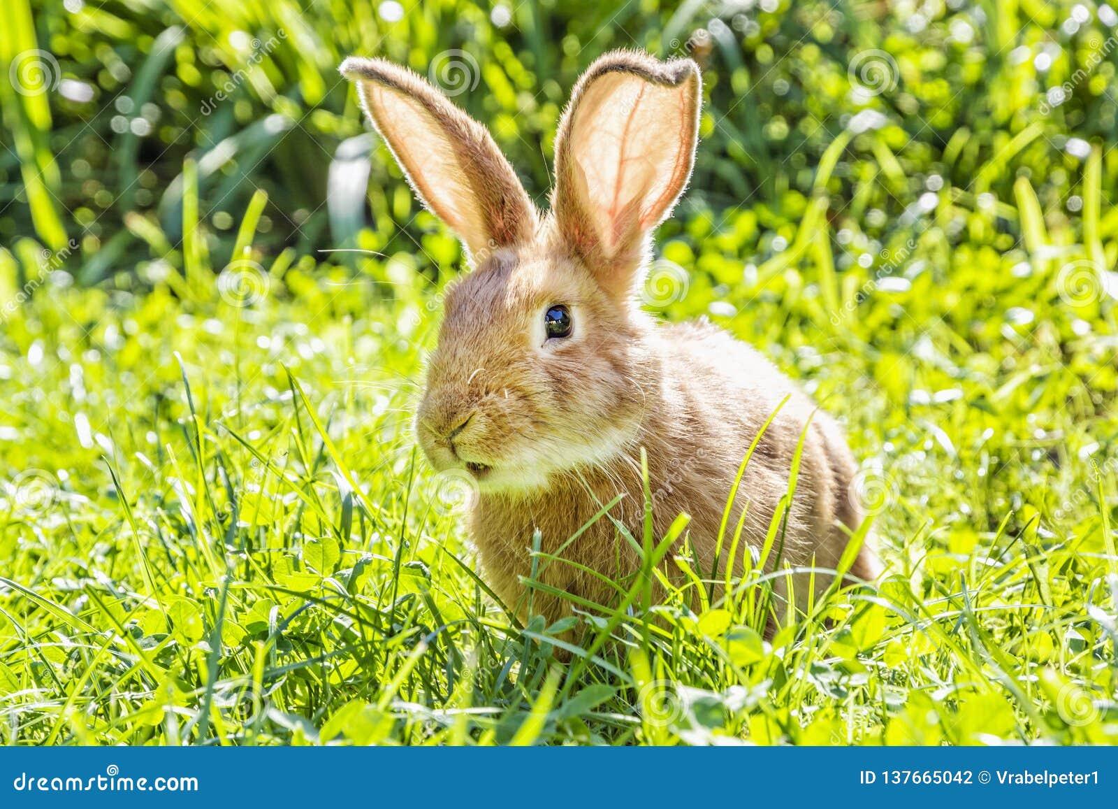 Peu lapin dans l herbe verte, temps de Pâques