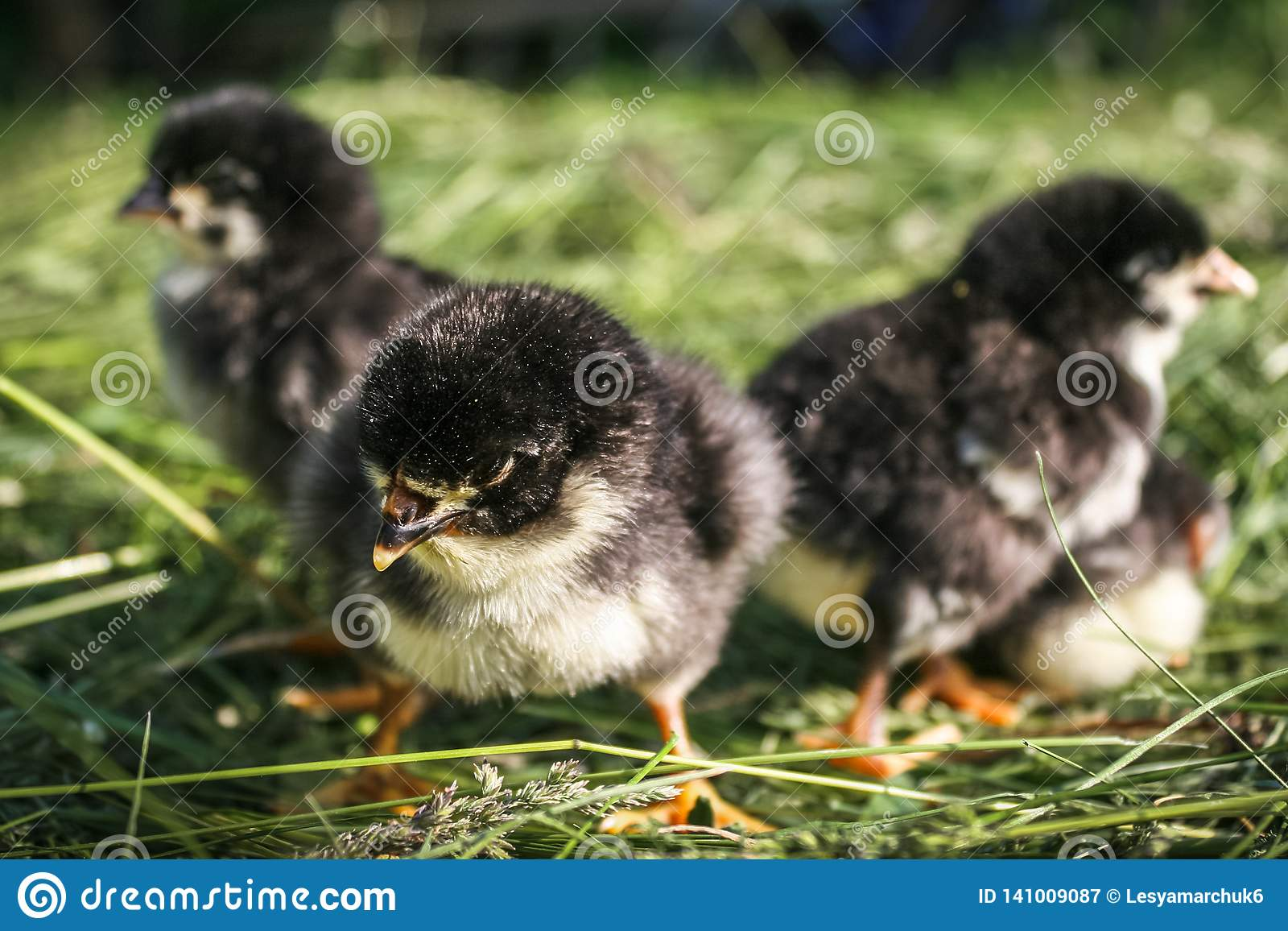 Peu poulets sur la pelouse à la ferme