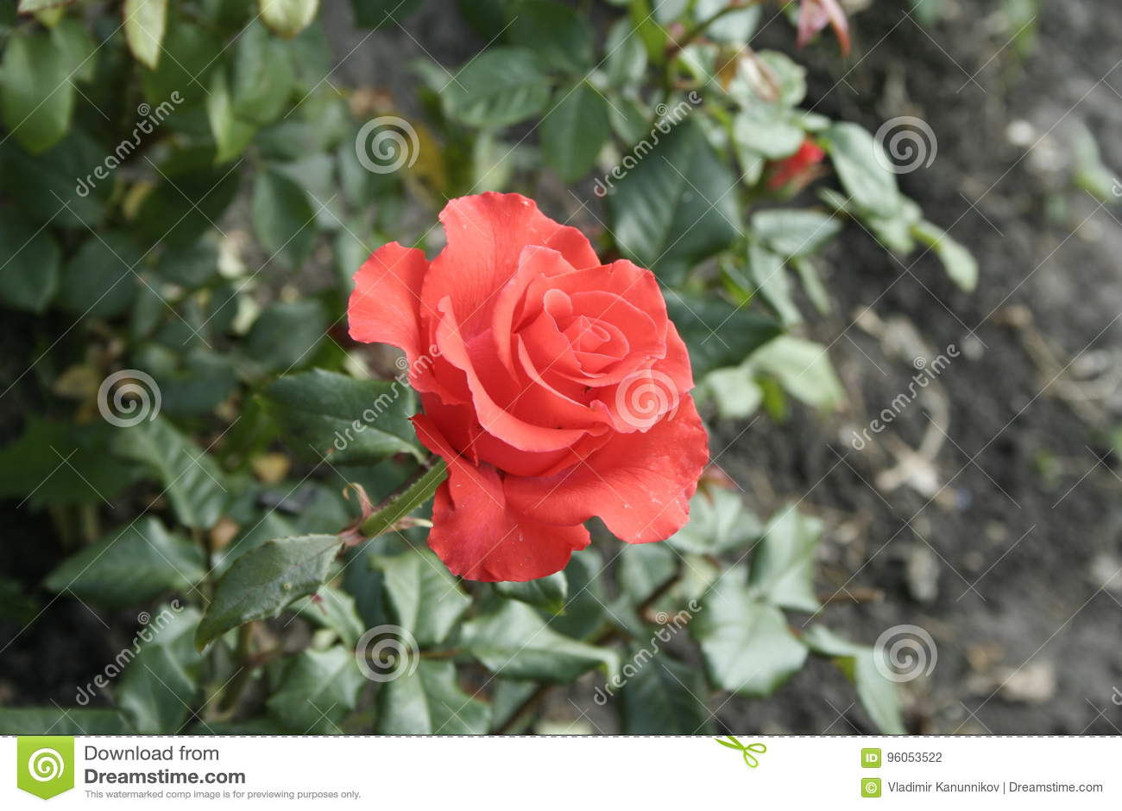 Peu rose orange