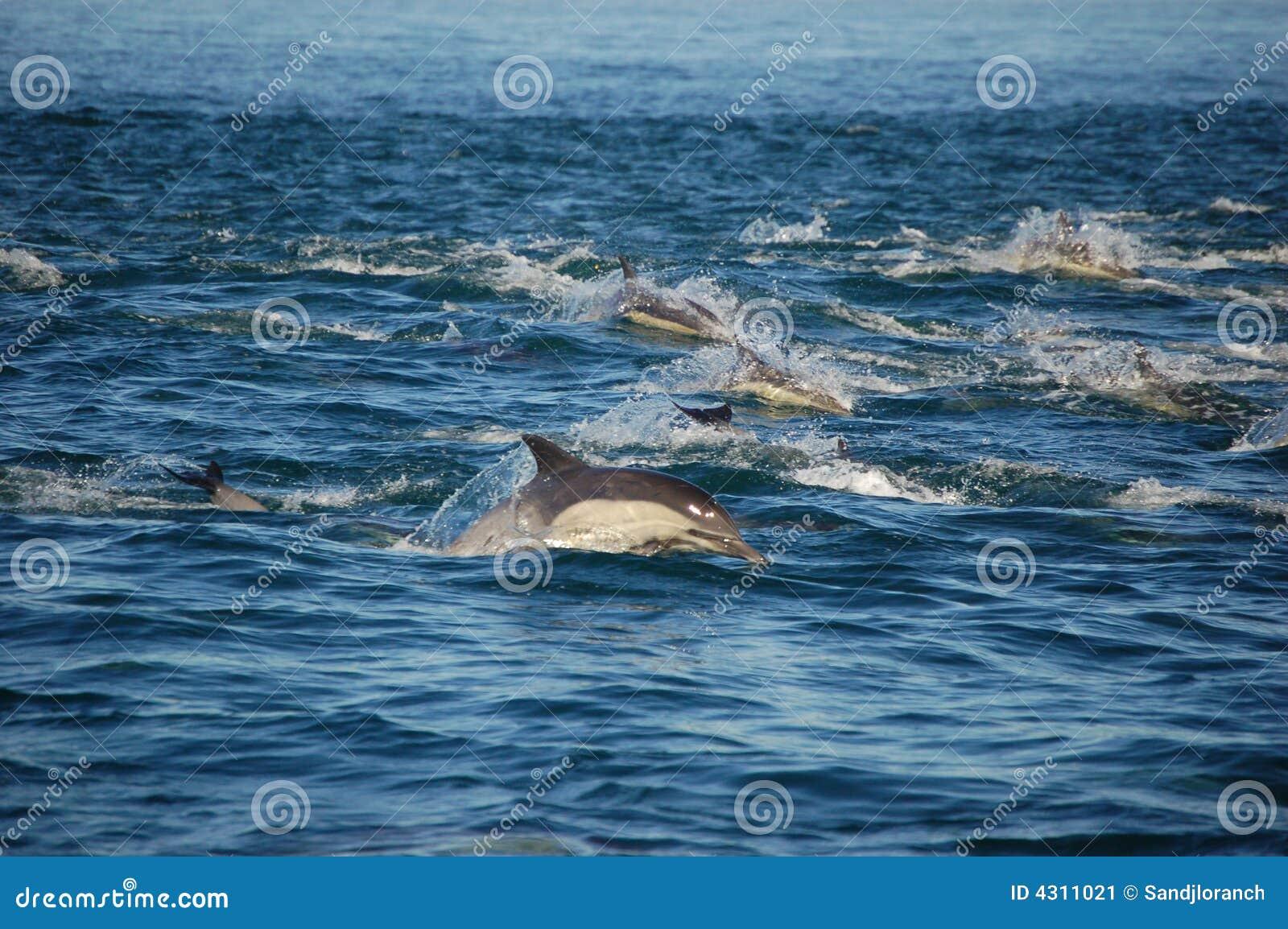 Peul van Gemeenschappelijke Dolfijnen