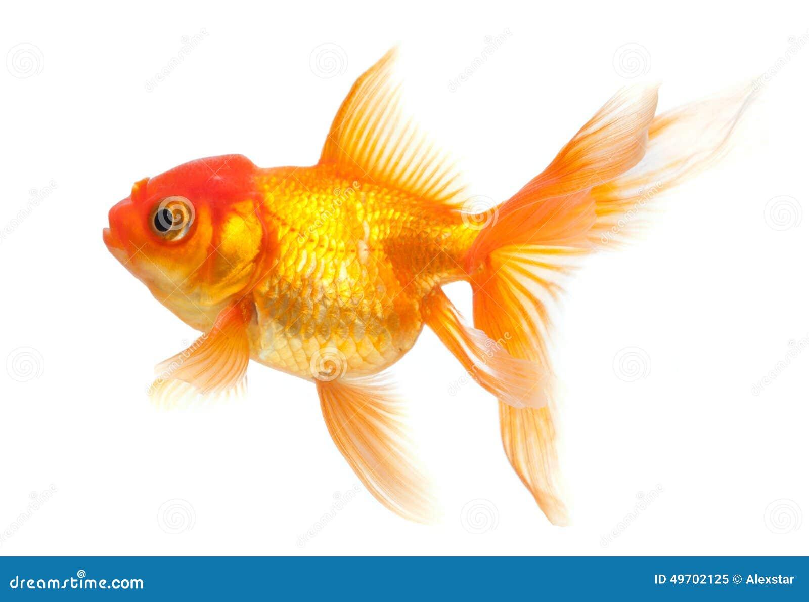 Pez de colores imagen de archivo. Imagen de cola, goldfish - 49702125