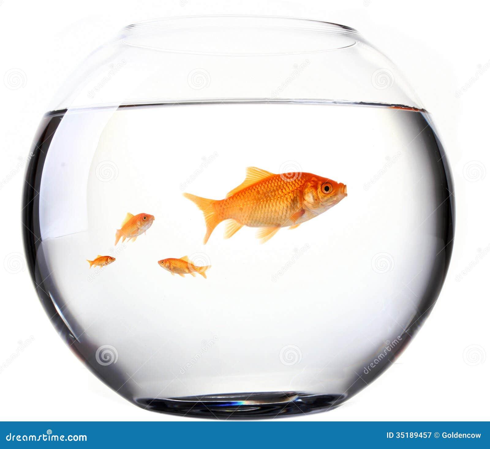 Cmo cuidar un goldfish - 6 pasos - unComo