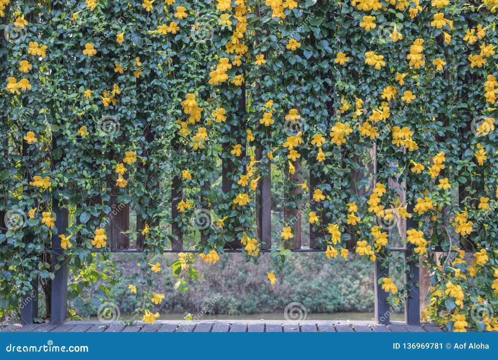 Pezuña-cati L de Macfadyena de la flor de la vid de la garra del gato A H gentry