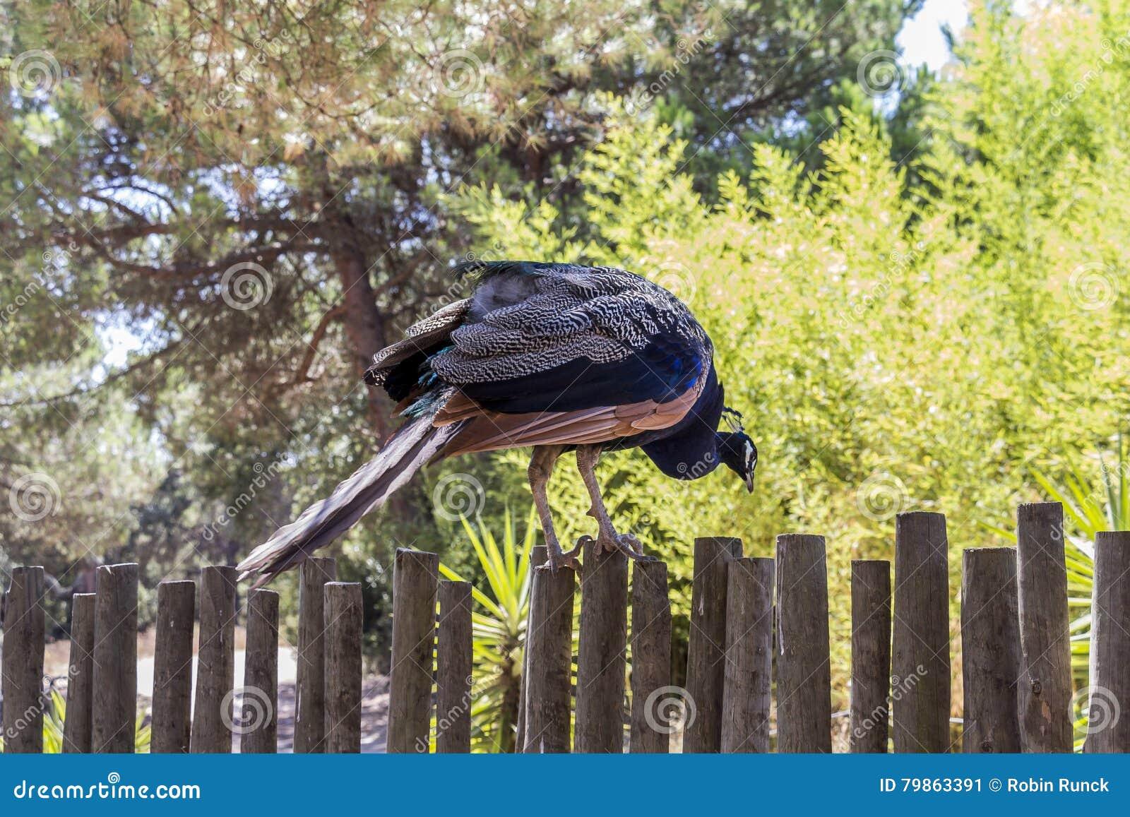 Pfau, der auf einem Zaun wartet, um zu springen sitzt