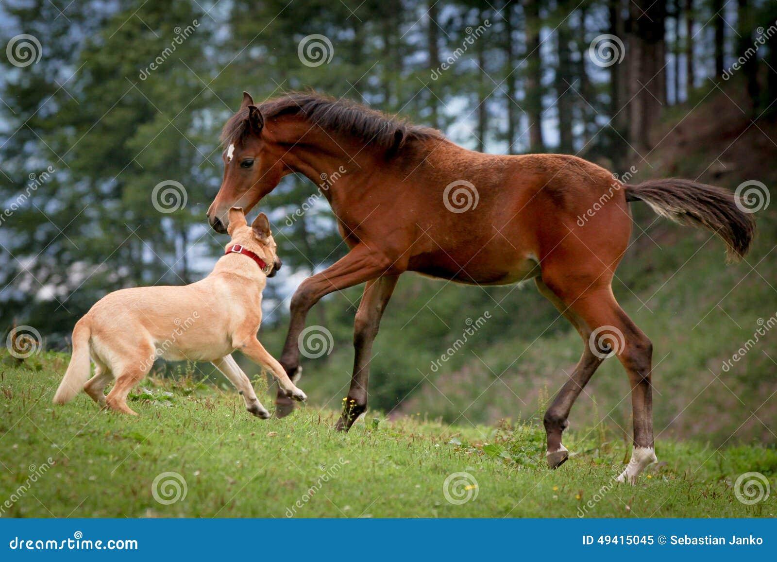 Download Pferd stockbild. Bild von colt, stute, kampf, wildnis - 49415045