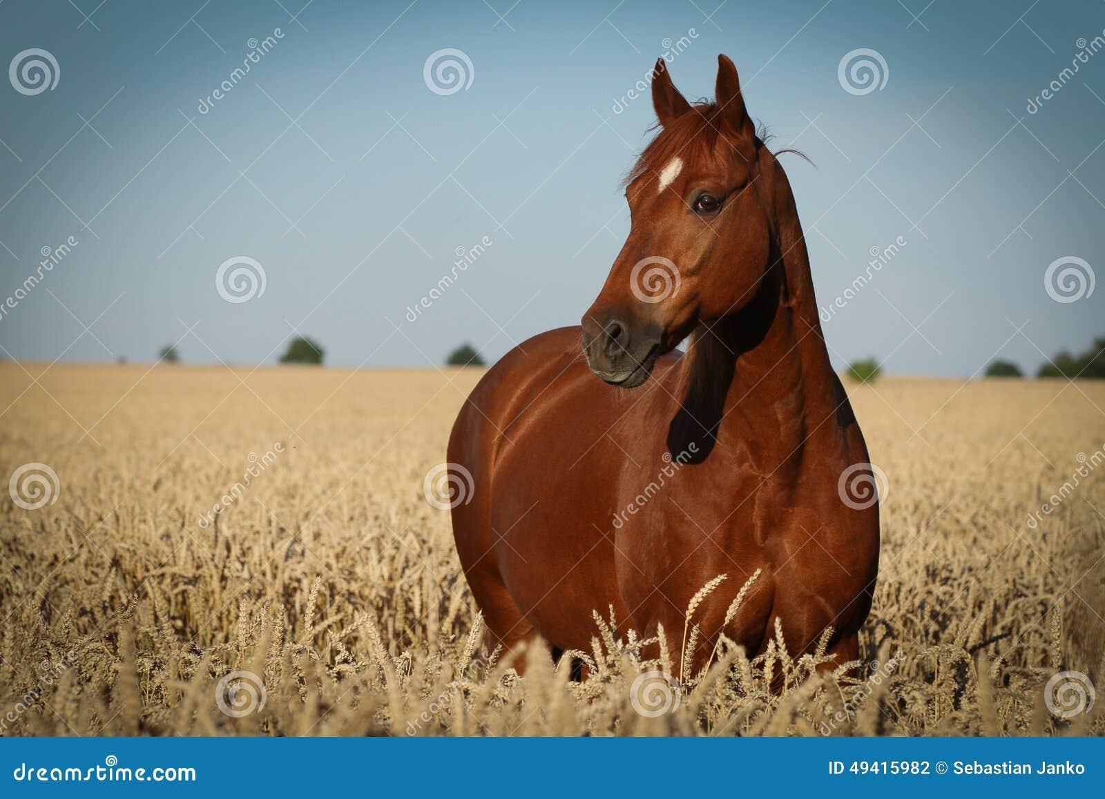 Download Pferd stockfoto. Bild von stärke, wild, colt, stallion - 49415982