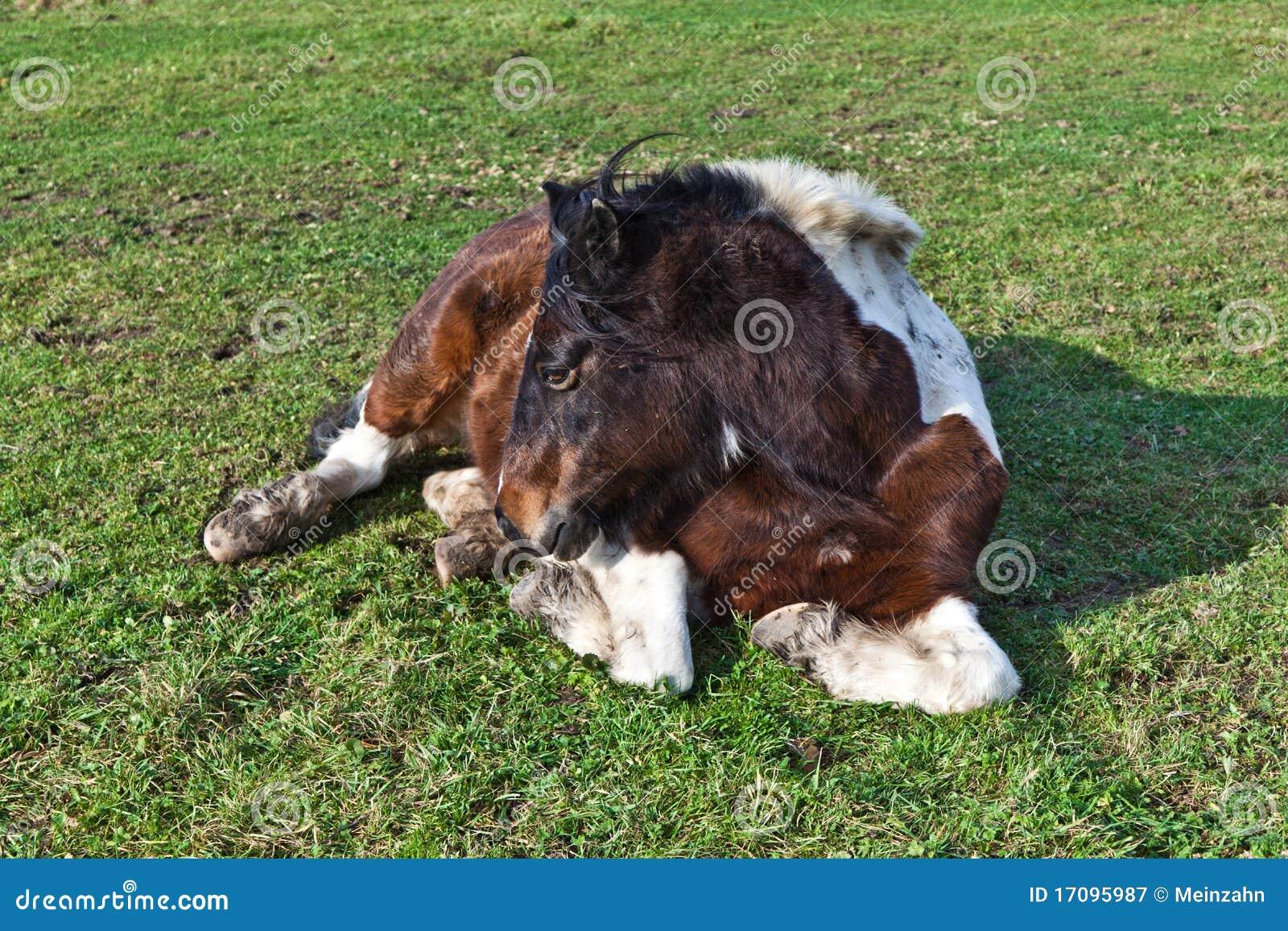 Pferd, das auf einer Wiese liegt
