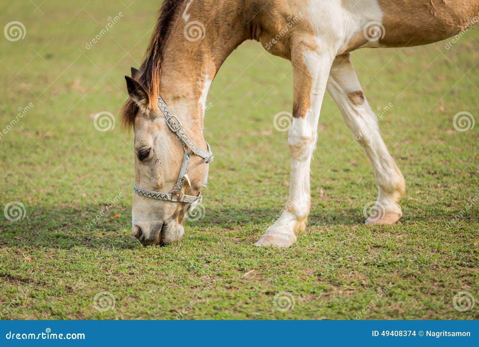 Download Pferd, Das Gras Auf Dem Feld Isst Thailand Stockfoto - Bild von haarig, nave: 49408374