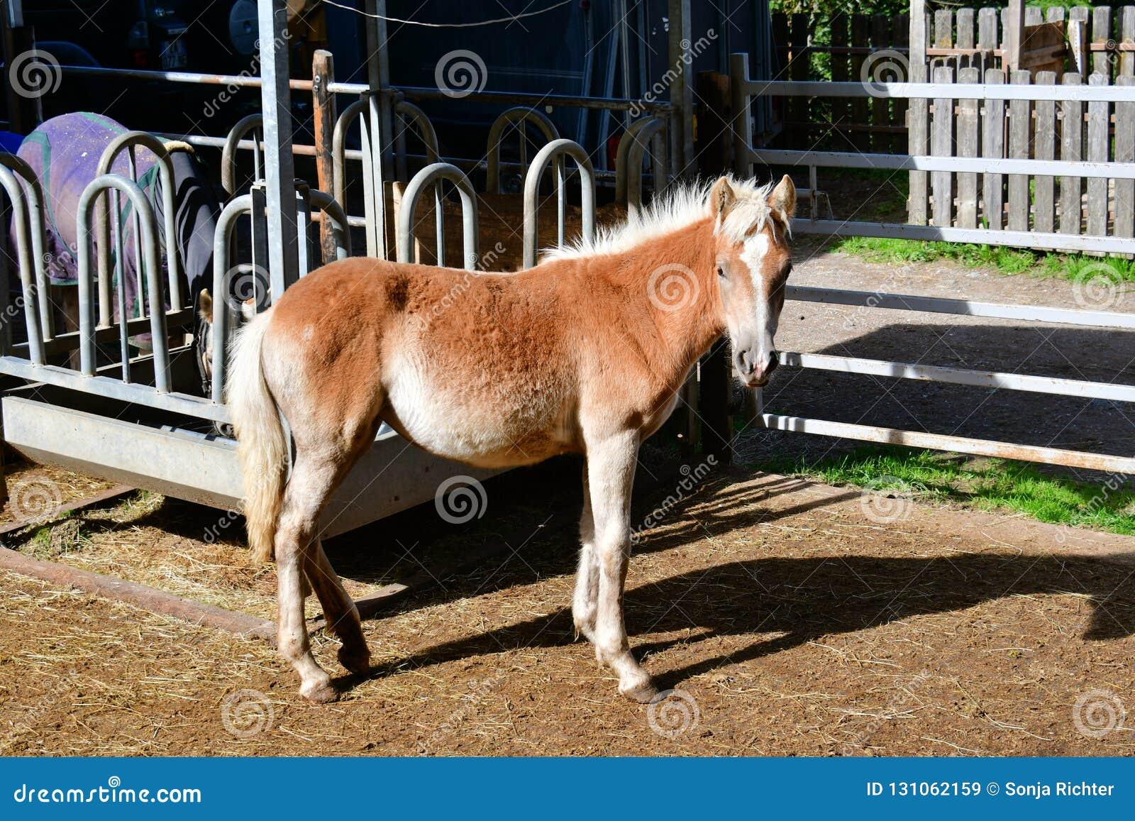 Pferd-haflinger fohlen in den Bergen von Italien