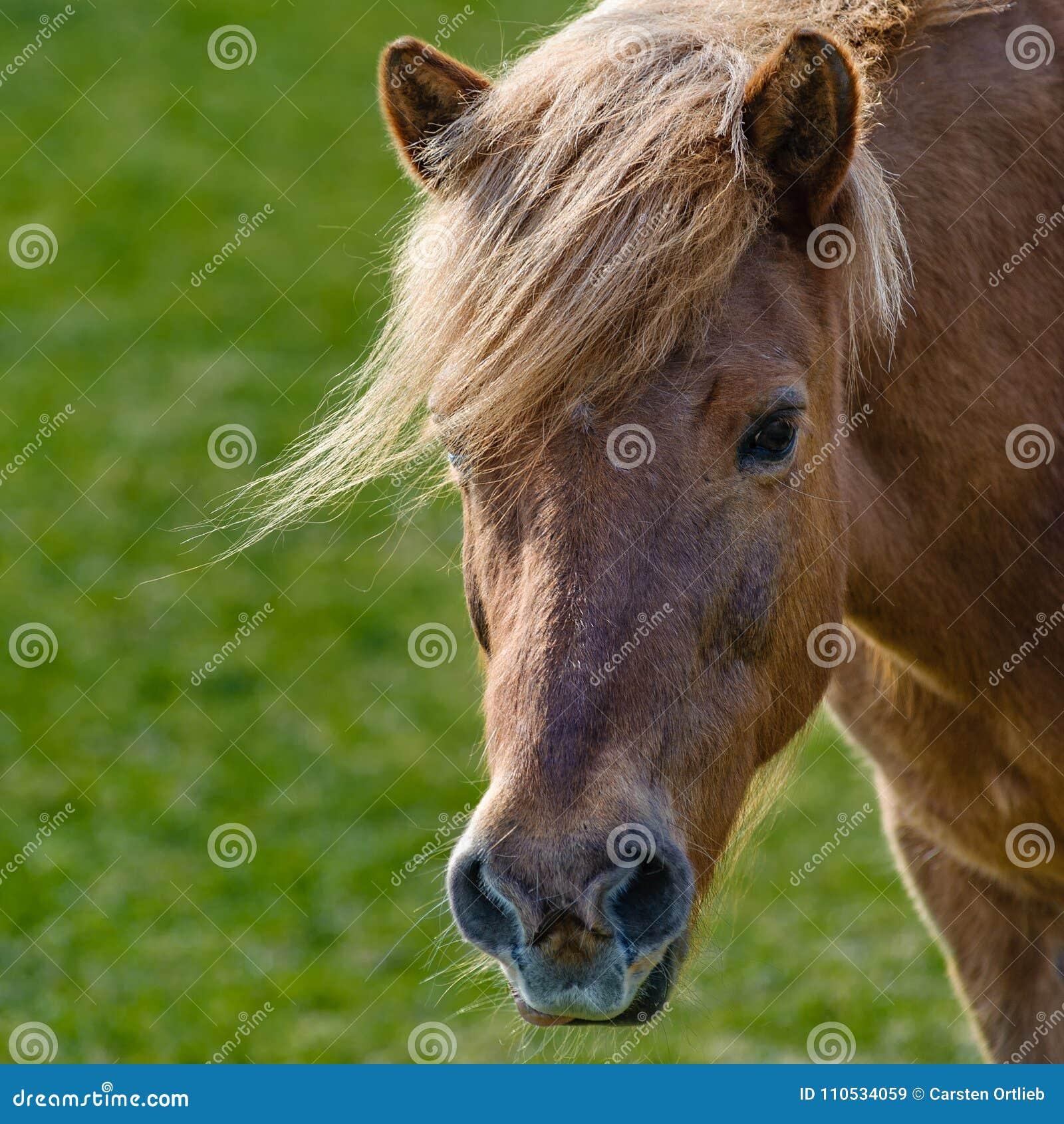 Pferd-sieht aus wie Donald Trump