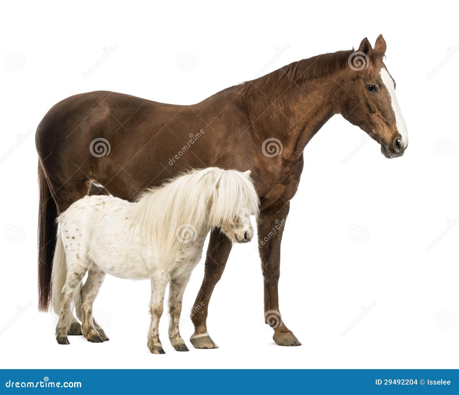 pferd und die shetlandinseln die neben einander stehen. Black Bedroom Furniture Sets. Home Design Ideas