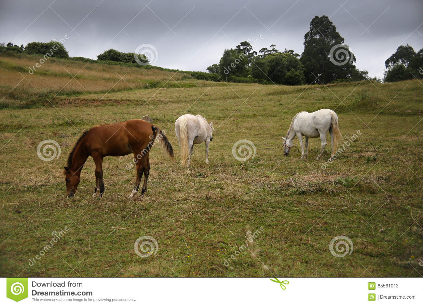 Pferde, die in der Wiese weiden lassen