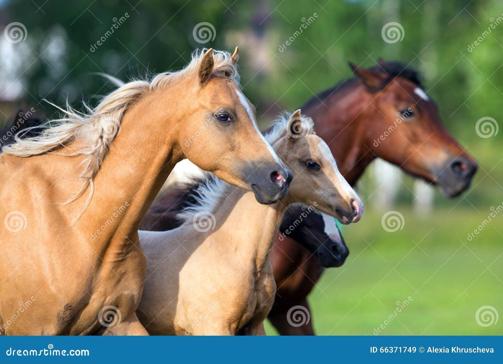 Pferde, die in Feld laufen