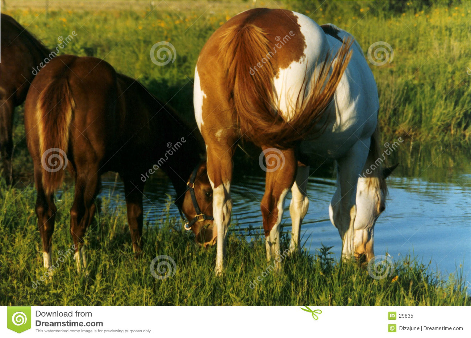 Pferde, die in Teich trinken