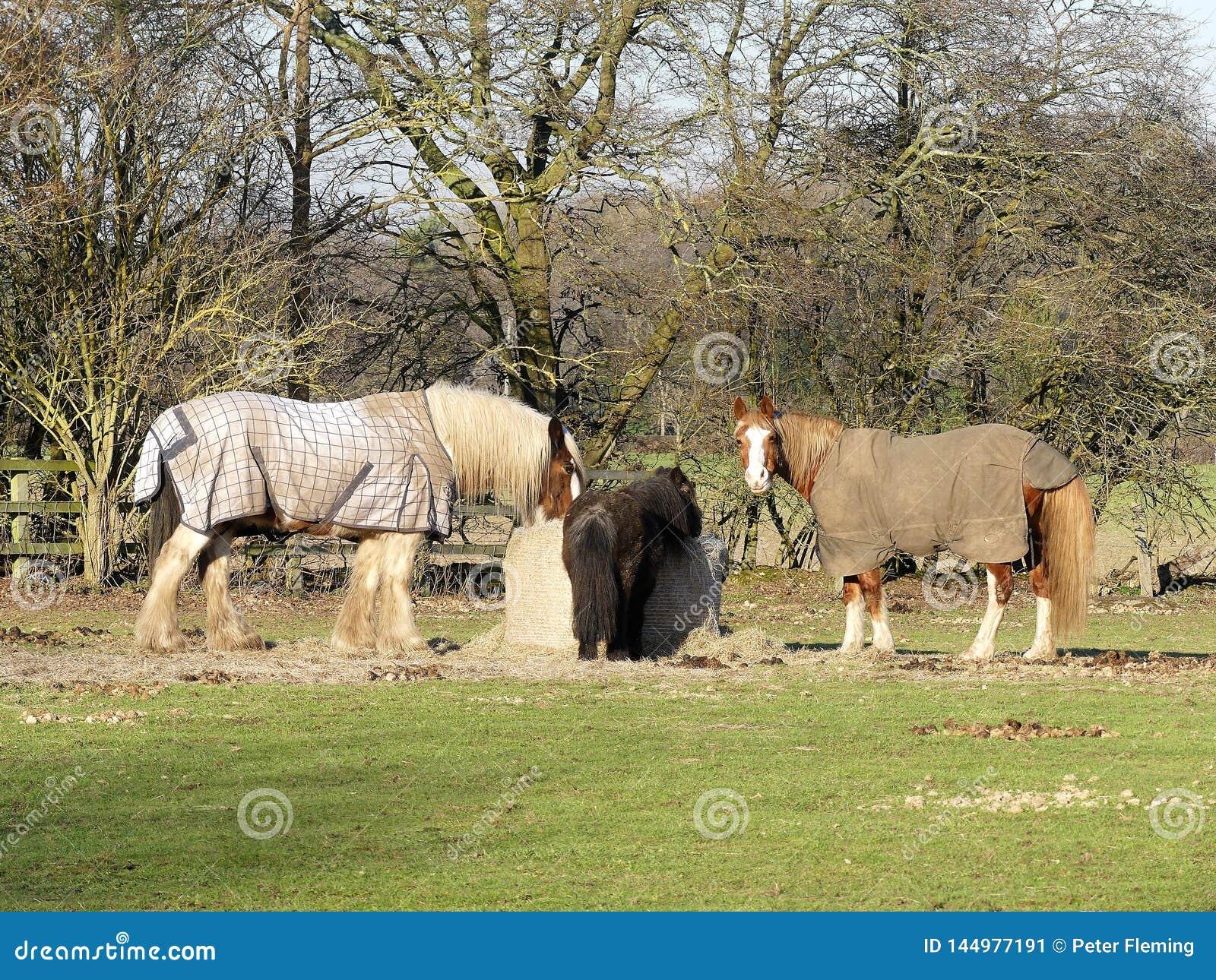 Pferde, die vom Heuballen, Chenies einziehen