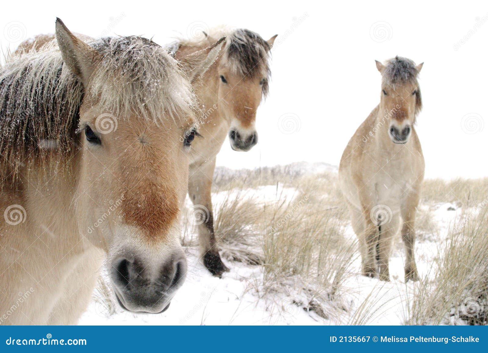 pferde im schnee lizenzfreie stockfotografie bild 2135667. Black Bedroom Furniture Sets. Home Design Ideas